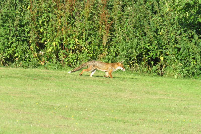 A Fox At Apple Acres Farm Kent