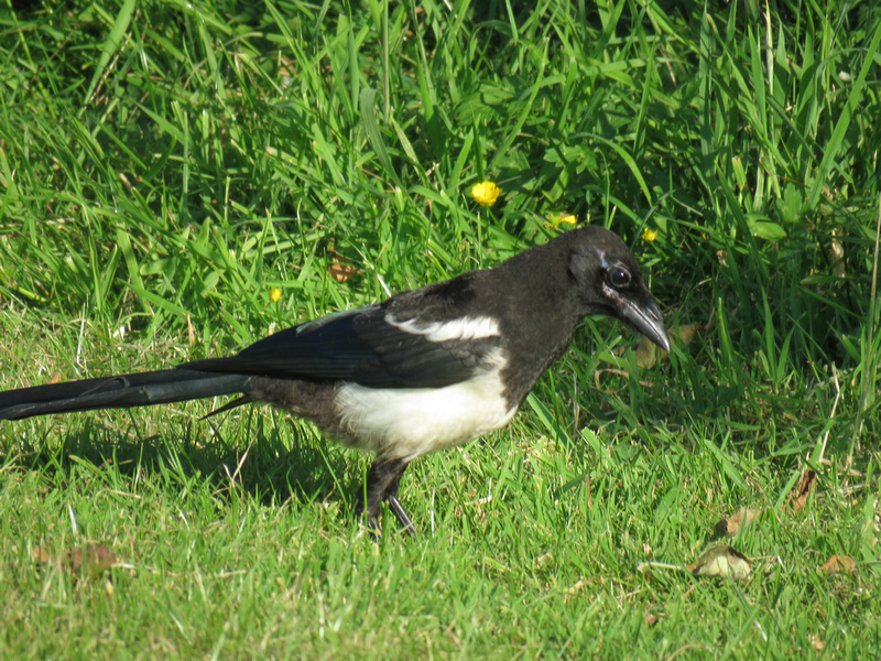 A Young Magpie