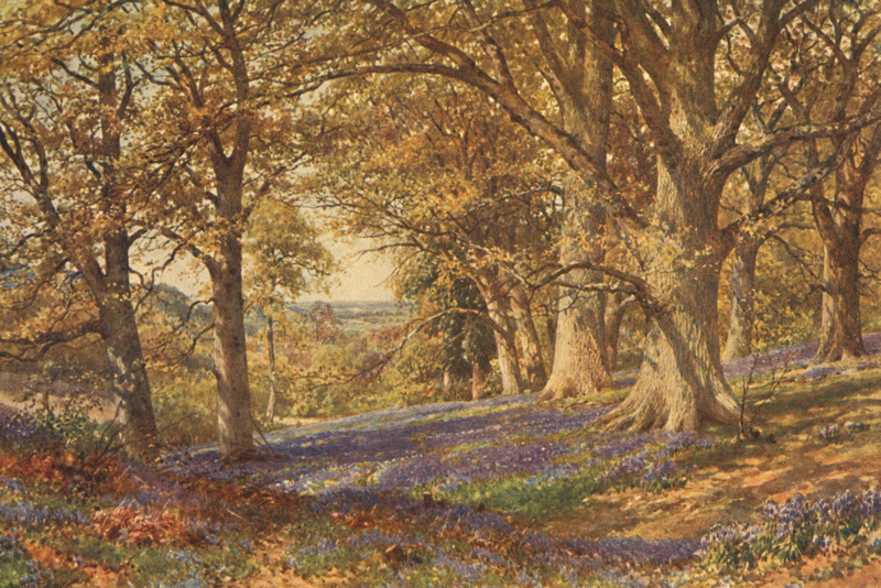 A Slope Of Bluebells Hascombe Surrey 1906