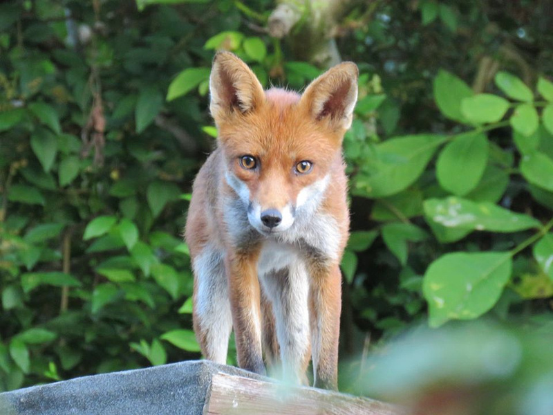 A Young Fox