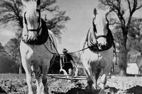 A Pair Of Shire Horses Baulking Potatoes In Essex Late 1940s