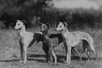 Whippets 1950