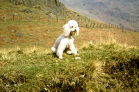 Whiskey The Poodle 1971 In The Lake District